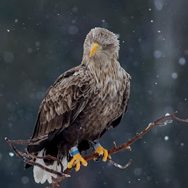 by Niclas Ådemark - Animals Birds ( wild, eagle, nature, nature up close )