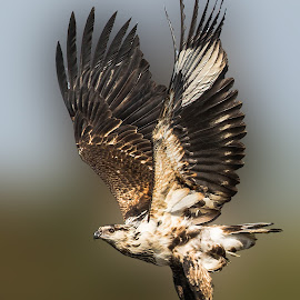 Juvenile African Fish Eagle by JD Lotz - Animals Birds