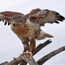 Hawk by Dawn Hoehn Hagler - Animals Birds ( bird, desert museum, zoo, arizona, tucson, raptor, hawk,  )