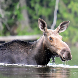 Moose Watch by Deanna Clark - Animals Other