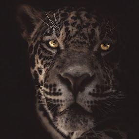 Jaguar by Dragos Birtoiu - Animals Lions, Tigers & Big Cats ( low key animal, jaguar, animal portrait, low key, low key portrait )