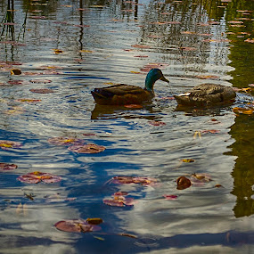 Subtle Duck by Jason Weagle - Animals Birds ( hdr )