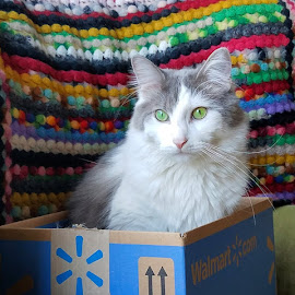 Walmart Box by Sandy Considine - Animals - Cats Portraits ( young cat, green eyes, gray and white,  )