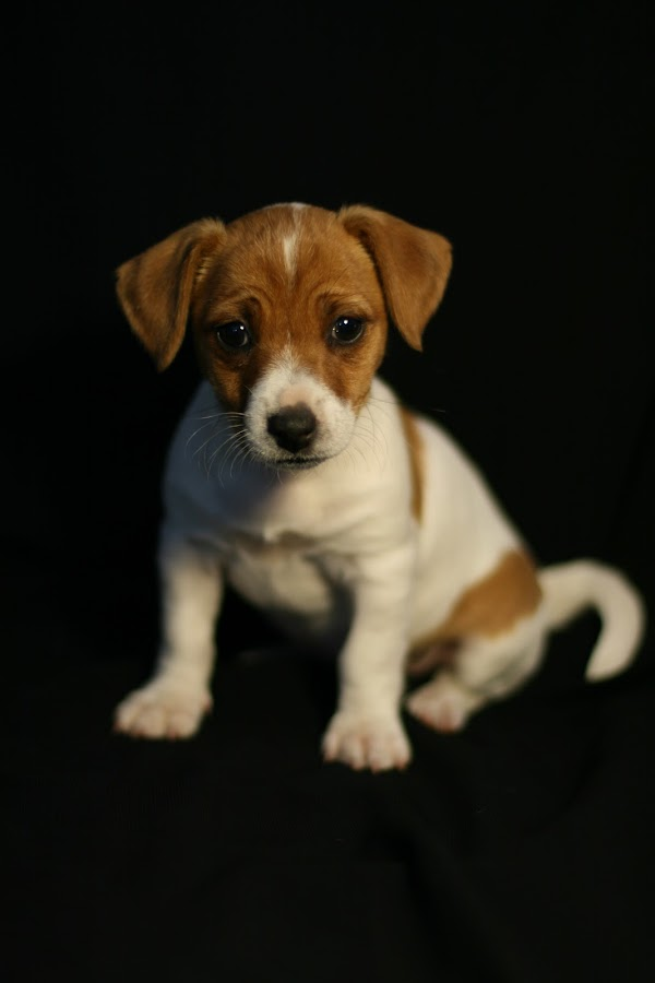 Daisy by Jess Commaille - Animals - Dogs Portraits ( jack russell, dogs., pets, puppy )