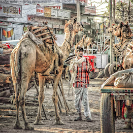 Working Camels by Dan Hayes - City,  Street & Park  Street Scenes ( street, camels, india, travel, working, man )
