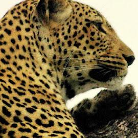 Watching by Fanie van Vuuren - Animals Lions, Tigers & Big Cats