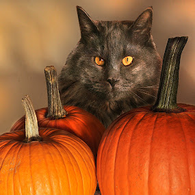 My Cat My Pumpkins by Corinne Noon - Public Holidays Halloween ( smokey, orange, cat, pumpkins, eyes )