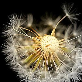 Goodbye Dandelion by Perla Tortosa - Nature Up Close Other plants ( macro, dandelion, white, flower, close,  )