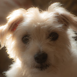 Scruff by Doug Faraday-Reeves - Animals - Dogs Portraits ( jack russell, backlit )