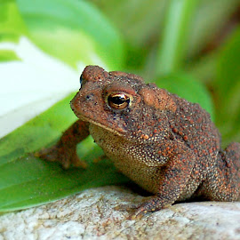 Cape Cod Garden Toad On Rock by Robin Amaral - Animals Amphibians ( nature, bufonidae, amphibian, wildlife, toad, parotoid gland, garden, hosta, cape cod )