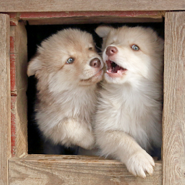 Give me a kiss! by Mia Ikonen - Animals - Dogs Puppies ( finnish lapphund, finland, interacting, cute, expressive,  )