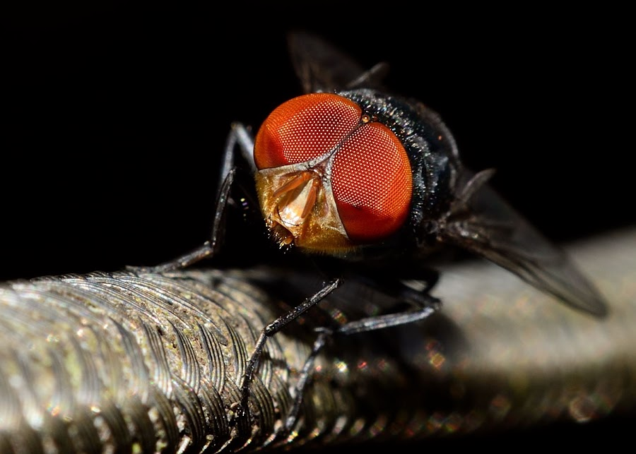 The Big Red Eyes by Hitler Tombaan - Abstract Macro ( sorowako, macro, fly, heatlarx, insect )