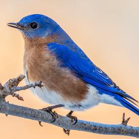 Eastern Bluebird by Carl Albro - Animals Birds ( thrushes, eastern bluebird, branch )