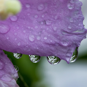 A Foursome of Drops by Simon Hall - Nature Up Close Natural Waterdrops ( natural light, water drops, macro, hibiscus, nature, nature up close, wet, garden, natural, rain, flower,  )