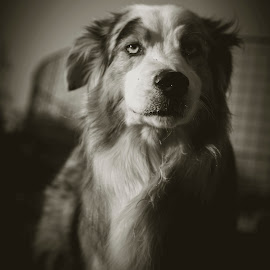 by Zibbies Du Toit - Animals - Dogs Portraits