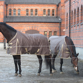 Horses by Viive Selg - Animals Horses (  )
