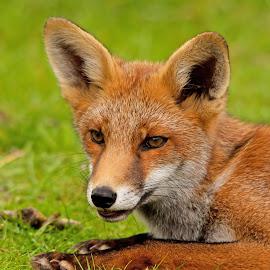 Fox by Hans Lunenborg - Animals Other Mammals ( animals, fox, wildlife, mammal, animal )