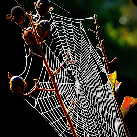 Morning Web by David Walters - Nature Up Close Trees & Bushes ( abstract, hawloween, nature, lumix fz200, fall, spider, spider web )