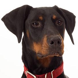 Alexander by Becky Kempf - Animals - Dogs Portraits ( dog, doberman,  )