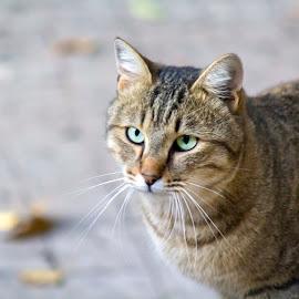 Stray Cat in Jerusalem by Abe Passman - Uncategorized All Uncategorized ( cat, whiskers, stray, cute, stray cat )