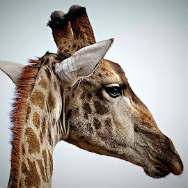 Giraffe Portrait by Pieter J de Villiers - Animals Other