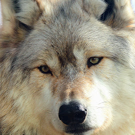 Wolf Portrait by Scott Block - Animals Other Mammals ( animals, minnesota, wildlife, wolves, international wolf center )