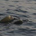 Sea turtles mating (video)