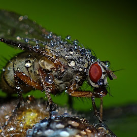Fly with raindrops by Pat Somers - Animals Insects & Spiders