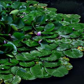 Lokvanj by Bojan Kolman - Nature Up Close Other plants