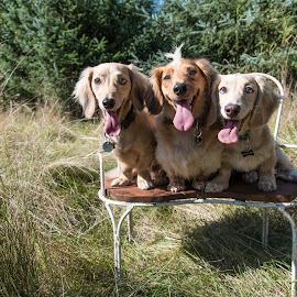 Cuteness by Jennifer Wollman - Animals - Dogs Portraits ( animals, pet photography, dogs, dachshund, dachshund (miniature long haired), dog photography, dog portraits )