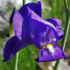 Iris by Sarah Harding - Novices Only Flowers & Plants ( plant, nature, novices only, garden, flower )