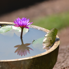 Water Lily by Biswajit Tripathy - Flowers Flower Gardens ( lily, biswajit tripathy, flowers, bhubaneswar, btstuffs, flower )