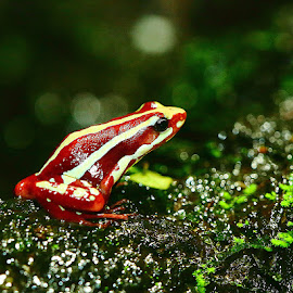 Epipedobate tricolor 3 by Gérard CHATENET - Animals Amphibians