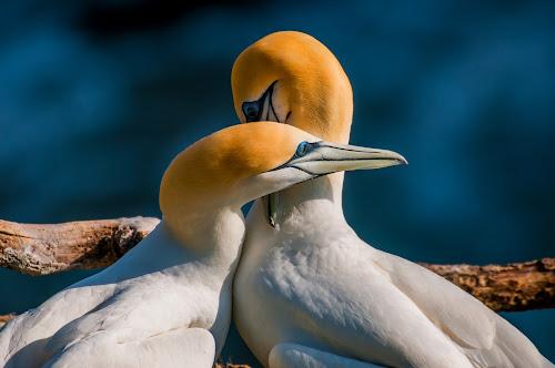 Embraceable You....  by Mahdi Hussainmiya - Animals Birds ( gannets, muriwai beach new zealand, embracing, pwctaggedbirds )