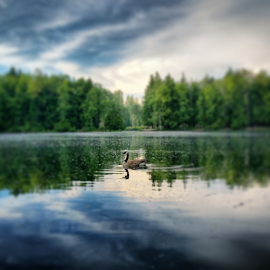 Canada goose by Todd Reynolds - Instagram & Mobile Android ( reflection, canada goose )