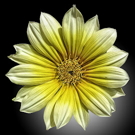 AYLI dahlia 68 by Michael Moore - Flowers Single Flower