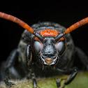 Flower Wasp