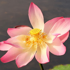 Lovely Lotus Flower by Dennis  Ng - Flowers Single Flower (  )