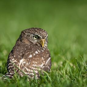 Little Pygmy Owl by Leticia Cox - Animals Birds ( birds of prey, nature, wildlife, nikon, birds, bird photography, owls,  )