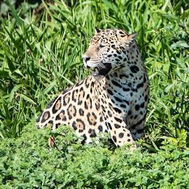 Jaguar in the wild by Pravine Chester - Animals Lions, Tigers & Big Cats ( big cat, jaguar, brazil, nature, pantanal, wildlife, animal )