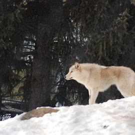Wolf in the snow by Skye Stevens - Animals Other Mammals