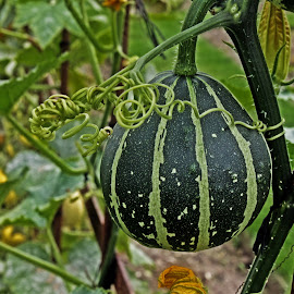 HH gourd by Michael Moore - Nature Up Close Gardens & Produce