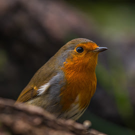 Robin Closeup. by John Greene - Animals Birds ( killeshandra, robin, macro, ireland, nature, forest, john greene, cavan, woods )