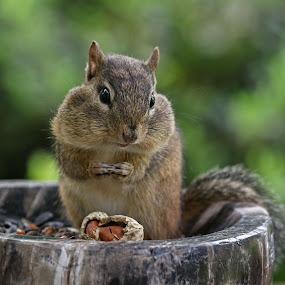 Reflection by Kathy Jean - Animals Other Mammals ( mammal, cute chipmunk, chipmunk with peanut, chipmunk, animal, chipmunk in bowl )