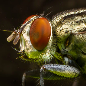 FLY by Asher Lwin - Abstract Macro ( macro, nature, fly, head, small, closeup, eye )