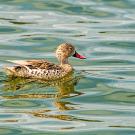 Duck in the water by Pravine Chester - Animals Birds ( water, animals, nature, duck, pond, birds, photography, water bird )