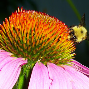 by Dave Martin - Nature Up Close Gardens & Produce ( macro, bee, bee on cone flower, close up of bee,  )