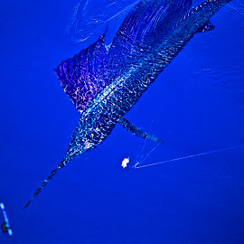 Blue Sailfish by Chris Wilson - Animals Fish ( water, blue, fish, sportfishing, sailfish, pacific ocean, costa rica, central america )