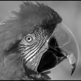 Macaw by Dave Lipchen - Black & White Animals ( macaw )