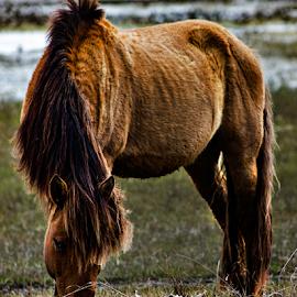 Wild Horse by Kevin Senter - Animals Horses ( beaufort, wild horse, outer banks north carolina, coastal north carolina, outer banks, beaufort north carolina, carrot island nc, beaufort nc, wild horses, north carolina,  )